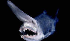Requin-lutin: poisson rares