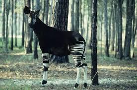 animaux rares okapi: