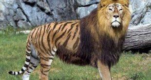 hybridation et croisement animaux