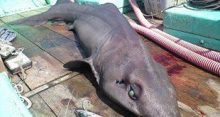 requin à longue dorsale (Pseudotriakis microdon)