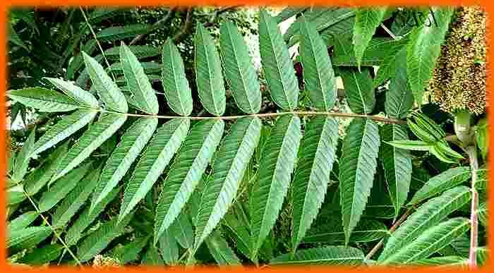 Bicarbonate de soude pour la santé remède Empoisonnement au sumac
